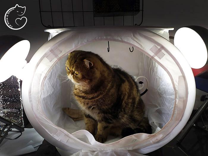 Chat tigré installé dans le studio photo